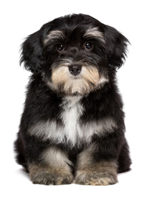 Havanese with Sad face